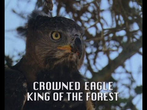 """Crowned Eagle - The """"King of the Forest"""""""