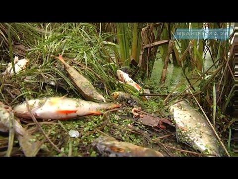 В Ивантеевке в Уче обнаружили дохлую рыбу в коричневой воде