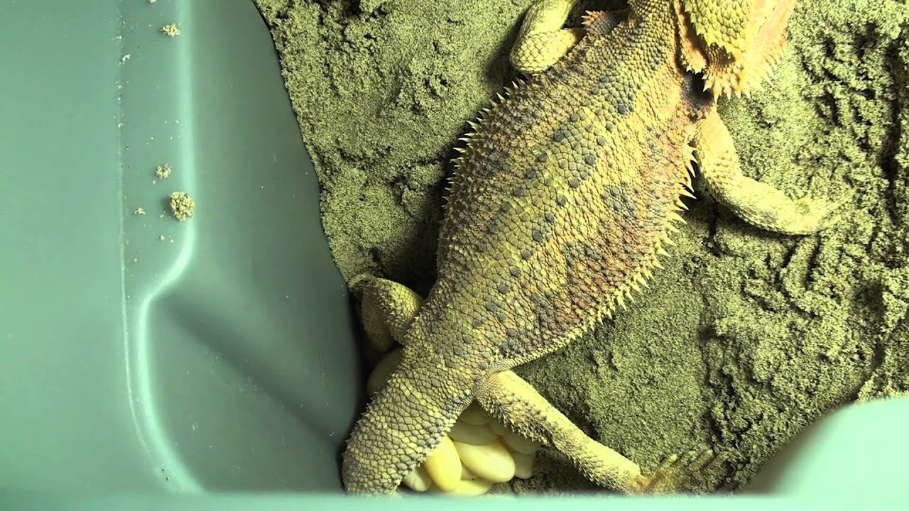 Bearded Dragon Gravid Lays Infertile Eggs What Now You