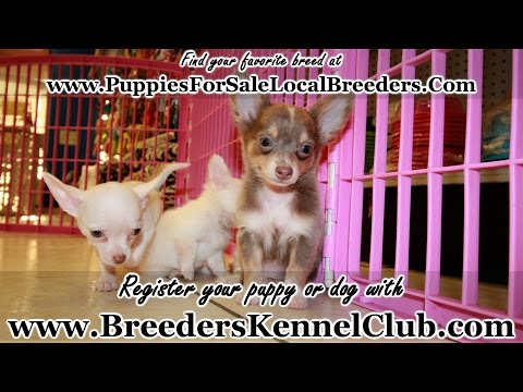 CHIHUAHUA PUPPIES FOR SALE GEORGIA LOCAL BREEDERS