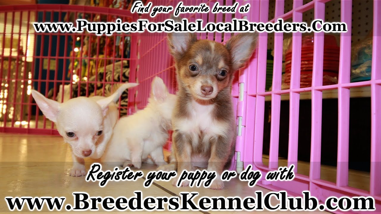 CHIHUAHUA PUPPIES FOR SALE GEORGIA LOCAL BREEDERS - YouTube