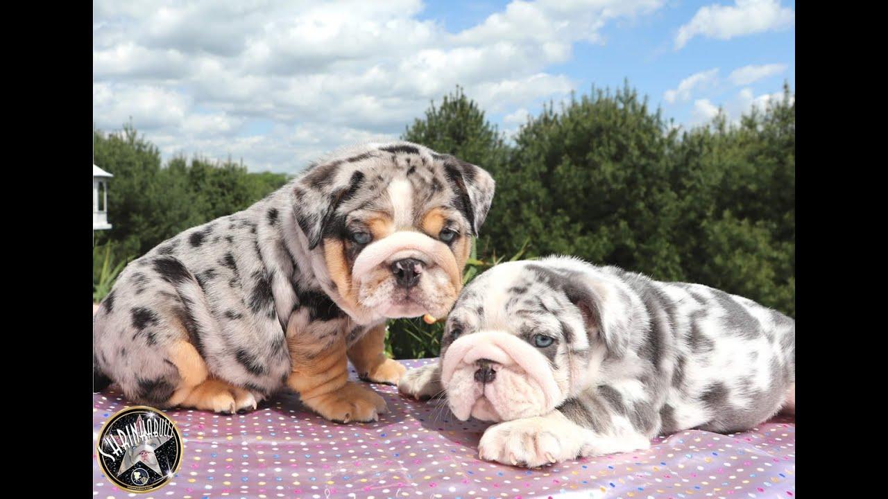 merle english bulldog puppies