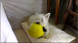 Westie B With The Angry Birds Plushie Pacifier :: Herbie The Wheaten Scottie (sleeping)