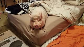 Sammy The MINI PIG throws a TANTRUM because breakfast is not coming fast enough 😂 HAPPY MONDAY
