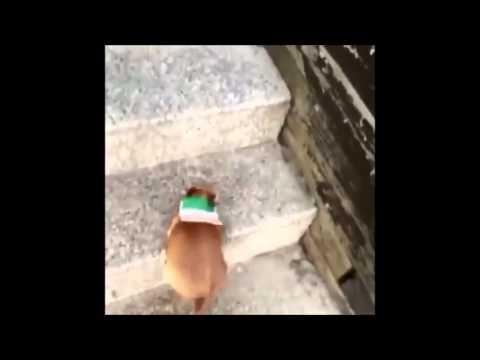 Funny Chihuahua Fail