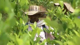 Kokain-Rekord in Kolumbien: Marktwert von 2,3 Mrd Euro