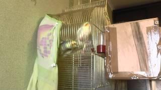 Попугай Нимфа - Корелла разведение 2 процесс разведения.