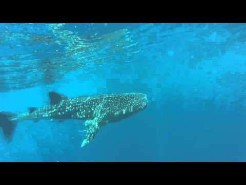 MANTA DIVING NOSY BE - DOUBLE WHALE SHARK & MANTA RAY . 22/11/2015