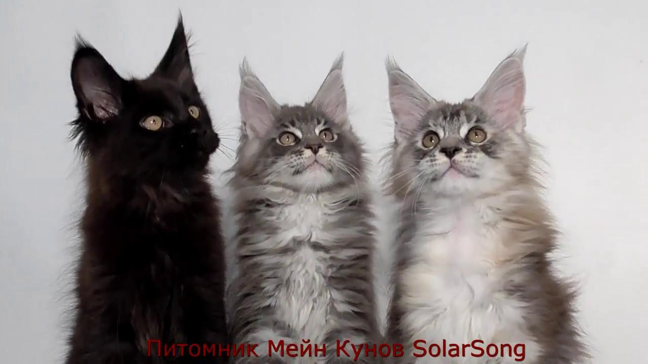 Котята Мейн Кун, помёт от 7 июля, 2 5 месяца - YouTube