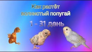 Как растёт птенец волнистого попугая от 1 до 31 дня.
