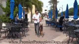 Protection Trained Belgian Malinois demonstrating Off leash Obedience!
