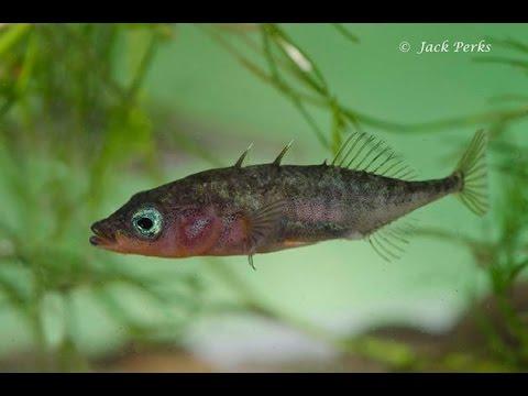 3 Spined Stickleback (Gasterosteus Aculeatus) Underwater UK