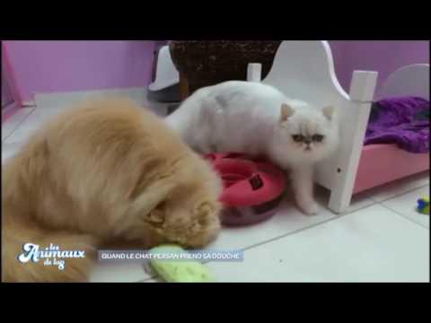 Toilettage d'un chat persan avec Sandrine des animaux de la 8