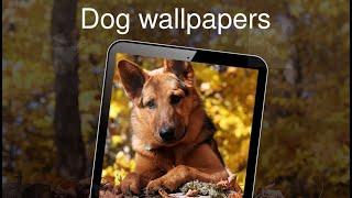 Dog wallpapers 4k