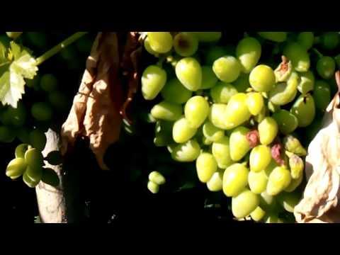Болезни винограда в картинках