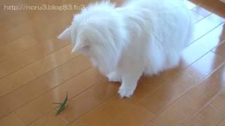 Cat VS Grasshopper [part 3] (猫 VS バッタ 5の3)