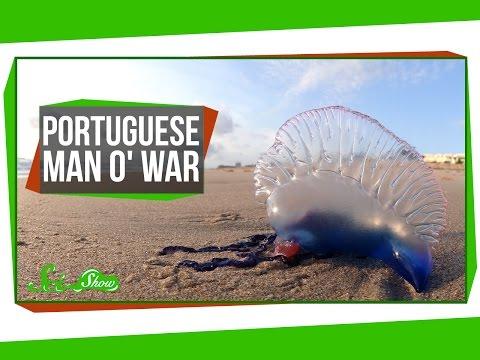 Portuguese Man o' War: An Organism Made of Organisms?