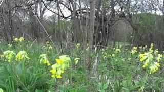видео Примула, первоцвет, баранчики (Рriтиlа L.)