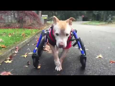 Journey of a Pit Bull/Sharpei Mix on Wheels!