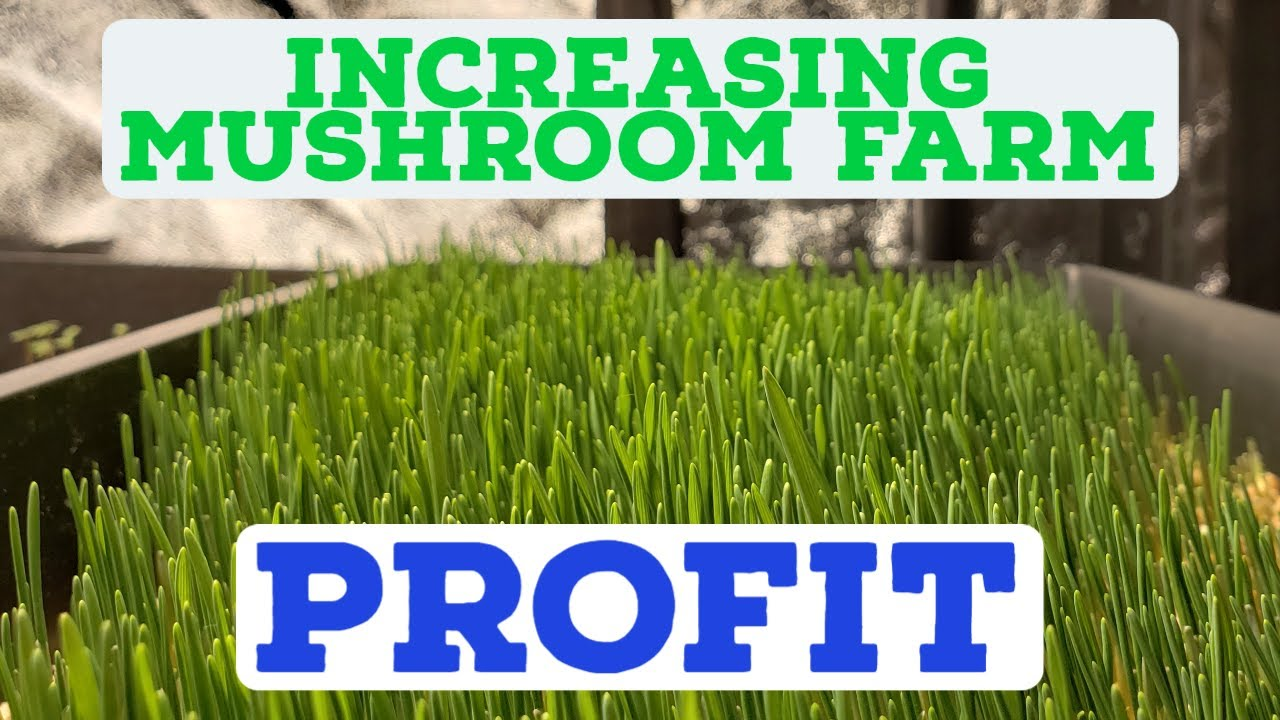 Increasing the Mushroom Farm Profit with Microgreens!