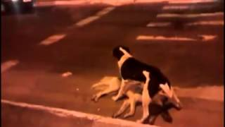 Собака пытается оживить свою подругу ...