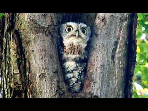 Screech-Owl Whinnies & Trills - Exploration Day 2011