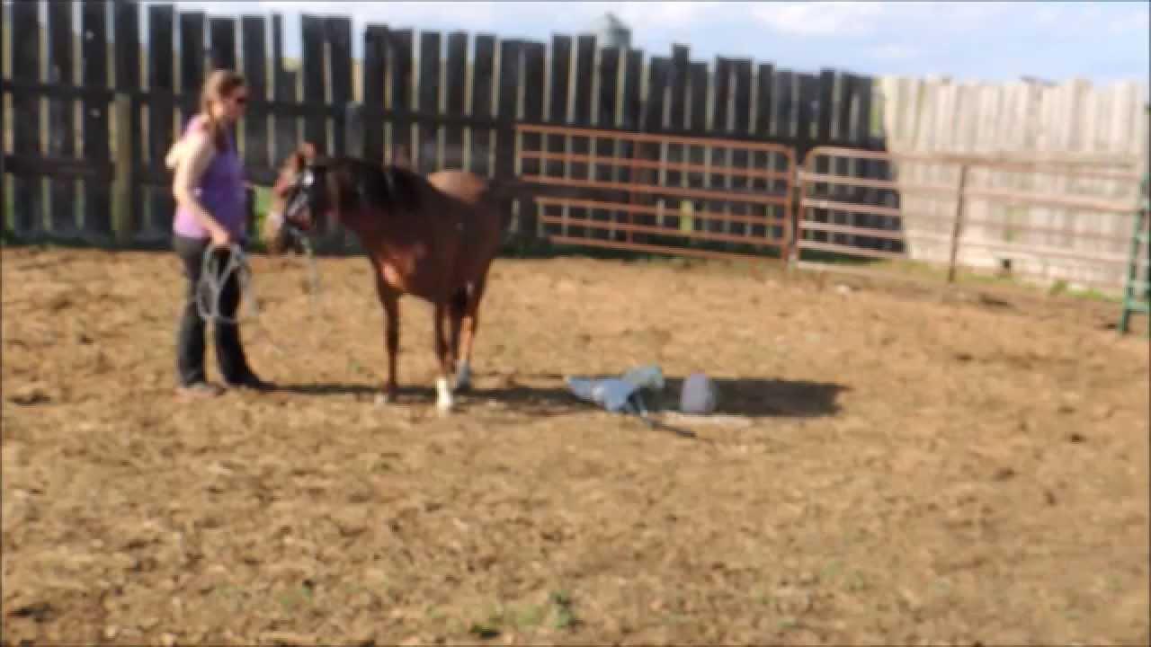 cherry ridge ponies sonnet welsh pony harness saddle training part 1 [ 1280 x 720 Pixel ]