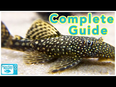 Bristlenose Pleco Care And Breeding