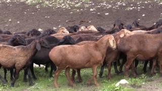 Знаменитые таджикские овцы Гиссаркой породы , отара хозяйства Баракат