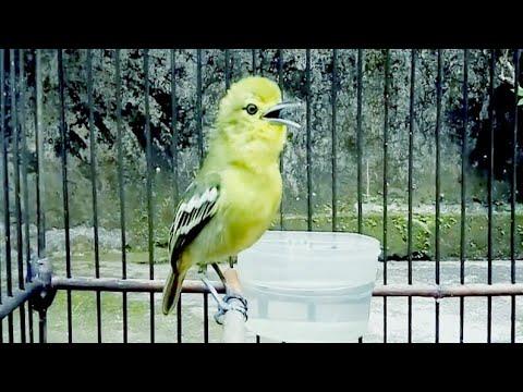 Burung Cipoh Gacor - Cipoh Sirtu Ngoceh dan Ngerol Panjang Bergetar