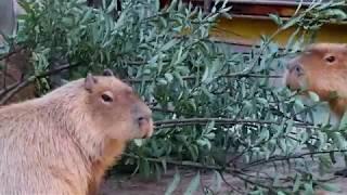 【東武動物公園】カピバラさんが葉っぱを食べる thumbnail