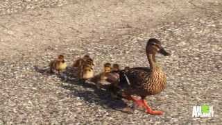 Mother Duck and Her Babies Get Help Crossing Road