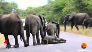 L'elefantino sviene, in suo aiuto arriva il 'branco' ...