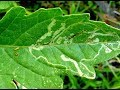 What are Leafminers - How to kill/counter Leaf Miners (URDU/HINDI)
