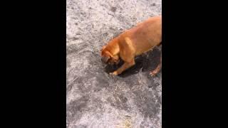 Mastweiler Rottweiler X Bull Mastiff