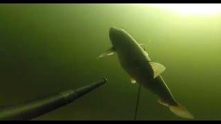 Подводная охота на сазана в Волгограде. Полная.