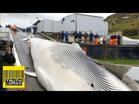 Endangered whale butchered in Iceland - Truthloader