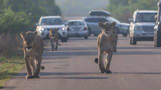 Lion Pride Catch & Finish Impala In Minutes - Kruger Park Wildlife