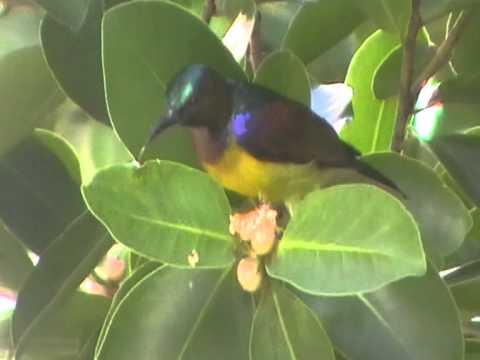Brown-throated Sunbird (Anthreptes malacensis), Pattaya
