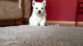 West Highland White Terrier Puppy Attacks!!