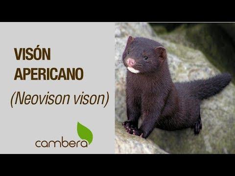 Visón americano (Neovison vison) en el río Camesa