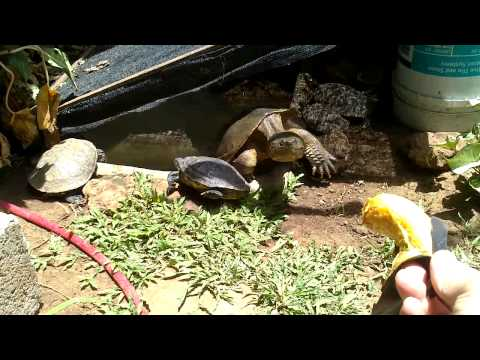 Otto.... !!  Tortuga Lagarto De Costa Rica