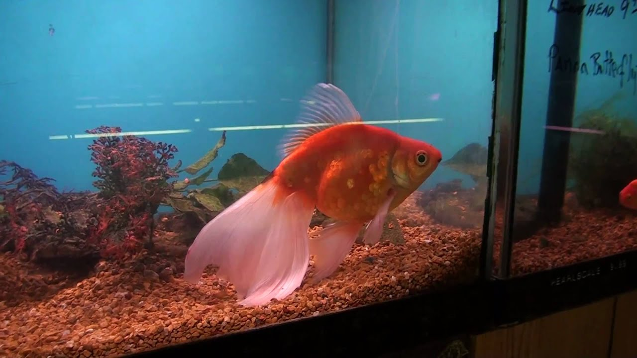 Sony hdr cx350v test at harp 39 s exotic fish pets extra for Exotic fish and pets