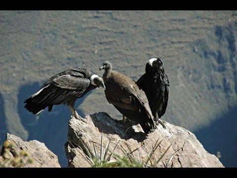 Giant Andean Condors in the Colca Valley, Peru