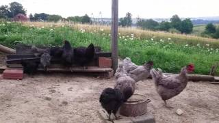 Kury i kaczki ozdobne: Poranna pogadanka