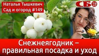 видео Снежноягодник белый, снежная ягода (Symphoricarpus albus (L.) Вlаkе)