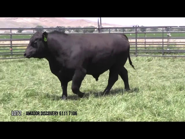 Mid Valley Bull Sale Lot 2