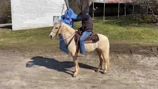 SOLD Waylon, very fancy palomino ky mtn gelding for sale! Trail horse!