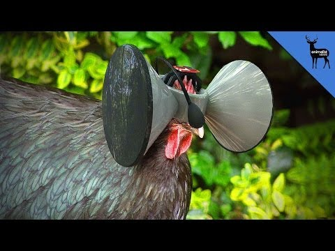 Virtual Reality Headset For Chickens!