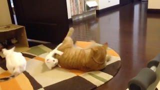 場所を移動して寝転がったら、弟猫ケンが 下敷きに…! ケンが「どいて〜...